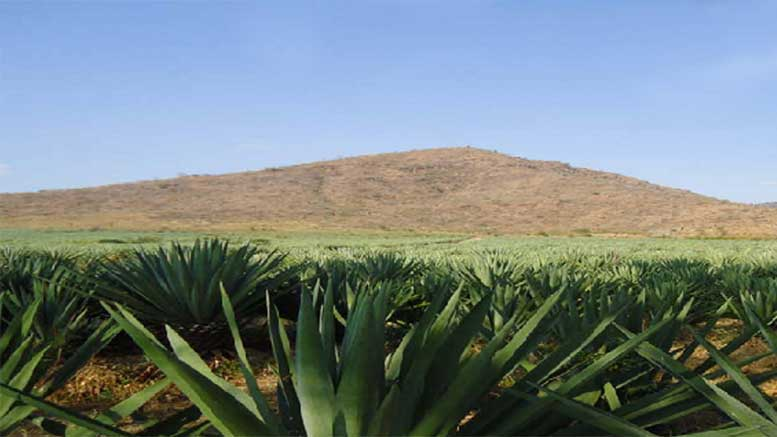 tanzania aim to increase its sisal production by 150 to 100 000