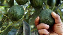 Tanzania avocado production